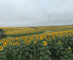 Sunflower field with wind turbine in background